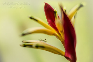 little Mantis on Heliconia
