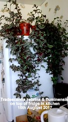 Tradescantia zebrina & fluminensis on top of fridge in kitchen 15th Augiust 2017 (D@viD_2.011) Tags: tradescantia zebrina fluminensis top fridge kitchen 15th augiust 2017