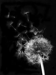 dandelion seeds (PsJeremy) Tags: scatter dandelion seeds blackandwhite iphone6