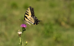 Flutterby (Explore!) (riqwammy) Tags: nature natural butterfly flower bokeh nikon d750 trail hike path hiking recreation outside outdoors summer field mountain country