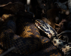 Adder (cogs2011) Tags: