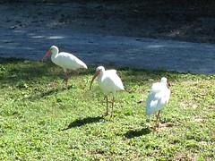 2013-12-08 12.03.00 (ashleyfmiller) Tags: birds water reflection keywest