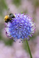 Heemtuin (Anieteke) Tags: heemtuin vlaardingen natuur nature macro fauna insect bee