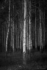 leader of the pack (john dusseault) Tags: aspens bw trees alberta canada banffnationalpark