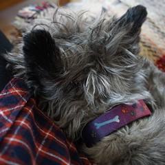 the last shot (quietpurplehaze07) Tags: jinks cairnterrier dog goodbye escapes 11 pet