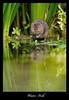 Water Vole (deanmasonwp) Tags: wild wildlife nature photo photography river stream water vole animal mammal reeds dean mason windows dorset uk nikon camera lens 300mm f28 d3s