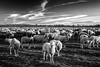 Face to face (agoralex) Tags: pecore agoralex naviglio bereguardo tramonto gregge