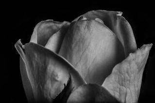 Rose Petals Shapes And Textures