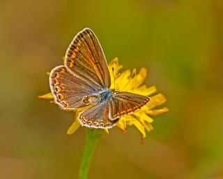 Brown argus - bruin blauwtje