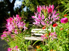 Flowers and the Bench (Cleome) (8harpem) Tags: pink flowers bench garden summer sonya6300 sigma30mmf14dc blumen flores jardine garten cvetje vrt цветы cleome spiderflower leaf leaves