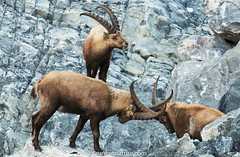 Combat de bouquetins (fauneetnature) Tags: bouquetin bouquetins combat animaux montagne mountain animals animalier maurienne alpes alps combatdebouquetins ibexfighting