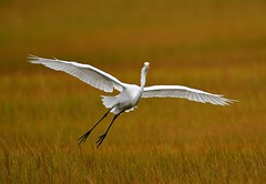 Egret (KoolPix) Tags: greatwhiteegret bird bif birdinflight wings beak feathers flying flight egret mnsa marinenaturestudyarea koolpix jaykoolpix naturephotography nature wildlife wildlifephotos naturephotos naturephotographer animalphotographer wcswebsite nationalgeographic fantasticnature amazingnature wonderfulbirdphotos animal amazingwildlifephotos fantasticnaturephotos incrediblenature naturephotographywildlifephotography wildlifephotographer mothernature