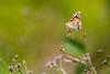 Painted lady (cricketsblog) Tags: melissamcmasters taxonomy:kingdom=animalia animalia taxonomy:phylum=arthropoda arthropoda taxonomy:subphylum=hexapoda hexapoda taxonomy:class=insecta insecta taxonomy:subclass=pterygota pterygota taxonomy:order=lepidoptera lepidoptera taxonomy:superfamily=papilionoidea papilionoidea taxonomy:family=nymphalidae nymphalidae taxonomy:subfamily=nymphalinae nymphalinae taxonomy:tribe=nymphalini nymphalini taxonomy:genus=vanessa vanessa taxonomy:species=cardui taxonomy:binomial=vanessacardui belledame distelfalter vanessacardui paintedlady נימפיתהחורשף vanesapintada beladama ohdakeperhonen migradoradelscards репейница ヒメアカタテハ vanesadeloscardos tidselsommmerfugl 작은멋쟁이나비 vanessadelcardo vanesseduchardon dëschtelpäiperlek osatnik taxonomy:common=belledame taxonomy:common=distelfalter taxonomy:common=paintedlady taxonomy:common=נימפיתהחורשף taxonomy:common=vanesapintada taxonomy:common=beladama taxonomy:common=ohdakeperhonen taxonomy:common=migradoradelscards taxonomy:common=репейница taxonomy:common=ヒメアカタテハ taxonomy:common=vanesadeloscardos taxonomy:common=tidselsommmerfugl taxonomy:common=작은멋쟁이나비 taxonomy:common=vanessadelcardo taxonomy:common=vanesseduchardon taxonomy:common=dëschtelpäiperlek taxonomy:common=osatnik