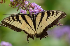Eastern Tiger Swallowtail (JDA-Wildlife) Tags: butterfliesetc butterfly nikon nikond7100 tamronsp150600mmf563divc jdawildlife johnny closeup butterflyswallowtaileasterntiger easterntigerswallowtail