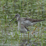 Greater & Lesser Yellowlegs (Tringa melanoleuca and Tringa flavipes) thumbnail