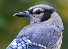 _A994032 (mbisgrove) Tags: bird a99m2 a99ii jay blue bluejay canada sal70400g2 sony ontario portrait nature wing sharp bisgrove mark
