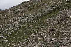 "Bighorn Sheep at Piegan Pass • <a style=""font-size:0.8em;"" href=""http://www.flickr.com/photos/63501323@N07/36695040065/"" target=""_blank"">View on Flickr</a>"