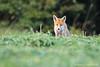 3786 (Arnaud Faucheron) Tags: canon canon7dmarkii 7dmarkii 7d animal renard renardroux fox sigma150600f563dgoshsmcontemporary sigma goupil arnaudfaucheron arnaud faucheron