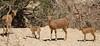 ibex (Israel Reiseleiter Ushi.Engel) Tags: moritz israel