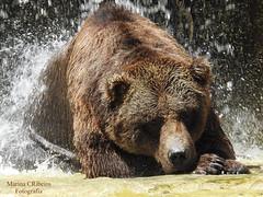 Urso-pardo (Ursus arctos) (Marina CRibeiro) Tags: portugal lisboa zoo urso bear animal