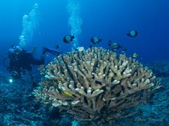 Kona Fisheye First Trial (1 of 9) (T2inSF) Tags: scuba scubadiving underwaterphotography underwater uwphotography fisheyeuwphotography fisheye kona konadiving jacksdivinglocker olympusomdem1mkii em1markii dasyllus hawaiiandasyllus hardcoral coralreef