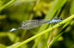 Blue Tailed Damsel (explored) (wayne.withers1970) Tags: blue damsel damselfly dragonfly flickr flora fauna nature wings outdoors countryside leaf macromonday