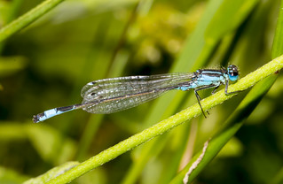 Blue Tailed Damsel (explored)