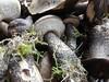 Boletes (Ms. Graveyard Dirt) Tags: watermark mushroom food