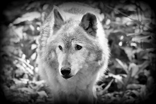 Wolf in black and white.