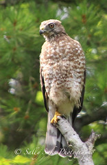 IMG_4141brwnghwkcopyg (Sally Knox Sakshaug) Tags: select nature outdoors alive broadwinged hawk perched stump tree feathers face beak eyes tail claw feet breast