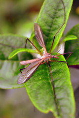 DSC_3923-001 (gruntfuttockslament) Tags: insects flyinginsects cranefly uk