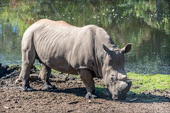 Enjoying a Mud Wallow (helenehoffman) Tags: africa chuck rhinoceros wildlife conservationstatusnearthreatened sandiegozoosafaripark ceratotheriumsimumsimum mammal mud southernwhiterhino southernsquarelippedrhino animal