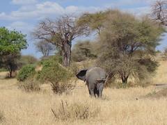 DSC00121 (francy_lioness) Tags: zebra giraffa elefante leonessa bufalo leoni lions tarangirenationalpark parks tanzaniasafari safari africasafari