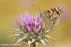 Butterfly & Thistle (Holfo) Tags: cyprus butterfly thistle flower maco wings cypriot nikon d5300 macro insect wildlife nature perch perched beauty beautiful mediterranean spiked blurred dof clarity wild spikes spikey winged flora fave natural favourite ideal bokeh standout outline sharp wonderful spike landed sat clear life background float fab fabulous wonder neutral