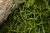 Oldenlandia (2) (siddarth.machado) Tags: deccanplateau flora rockyoutcrops rocky deccanflora andrapradesh dry plants wild budili deccanplateauflora