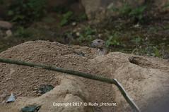 055 Prairiehond (rudylinthorst) Tags: prairiehond zooosnabrückd 2017