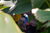 20170820-0I7A0524-Southern cassowary (siddharthx) Tags: singapore sg southerncassowary canon7dmkii nature ef100400mmf4556lisiiusm jurongbirdpark aviary bigbirds largebirds
