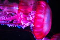 The Sky Was Watercolor Thin (Thomas Hawk) Tags: america chicago cnidaria cookcounty illinois johngsheddaquarium museumcampuschicago sheddaquarium usa unitedstates unitedstatesofamerica aquarium jellies jellyfish pink fav10
