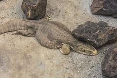 VARANO DEL NILO.   ----    NILE. MONITOR (Ezio Donati is ) Tags: animali animals foresta forest laguna lagoon africa costadavorio laguneassinie acqua water