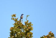 Western Scrub Jay (Neal D) Tags: bc surrey ohare blackiespit bird jay westernscrubjay aphelocomacalifornica