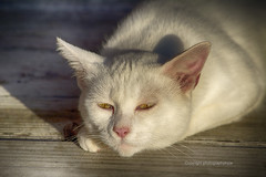 Angel Cat (Photographybyjw) Tags: angelcathewasjustahungryfellowwhowanderedup heisasweetboyjustlovestoeatalot hopetofindahomeforhim idontneedanothercat shotinnorthcarolinaphotographybyjwangelcatfelinemammalmaletomwhitegentleweatheredwoodoutsideruralcountryusa