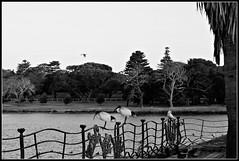 2017 Sydney: B&W Centennial Park #4 (dominotic) Tags: sydney nsw australia newsouthwales 2017 centennialpark publicpark tree water bw blackandwhite duckpond duckfence birds cockatoo australianwhiteibis nature