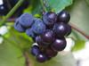 Weintrauben Uhudler (arjuna_zbycho) Tags: weintrauben uhudler weintraubenuhudler winogrona winogronauhudler wein wino