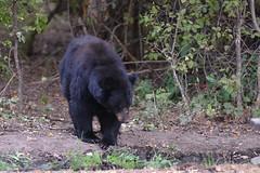 DSC_7293 Momma trying to figure out where she's heading (futzr.fotoz) Tags: fort simcoe state park yakima county washington north american black bear oak apple trees alert alarm acorns