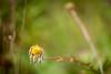 Chamomile Flower, Island Cove (celeleon) Tags: chamomile flower islandcovercanada canada canadá newfoundlandandlabrador newfoundland nationalpark raleigh naturaleza naturallight natural nature colores color flores manzanilla hawkesbay