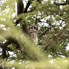 810_2224.jpg (Laurent LALLEMAND) Tags: kenya continentsetpays afrique strigidae baringo oiseaux bubolacteus strigiformes grandducdesverreaux africa ke ken