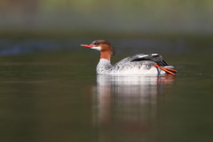 Grand harle / adult female common merganser (Simon Théberge) Tags: