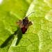 Lacebug - Physatocheila dumetorum (Fred's Uncle) Tags: hcpnr lacebug bug insect