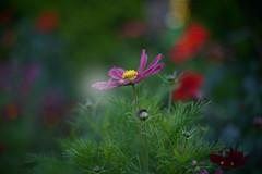 Bokeh Beauty.. (KissThePixel) Tags: nikondf nikon nikkor nikkor12 12 f12 50mm nikon12 flower flowers aperture bokeh september autumn