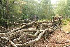 epp41 (Tony Wyatt Photography) Tags: eppingforest epping forest london woods trees beech mushrooms flyagaric alienmushroom puffball corporationoflondon autumn roots treeroots austin austinofengland austincar oldfolks